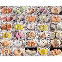 10 Sementes Cactos Lithops Pedra Viva Flor Mudas Rosa Cactus
