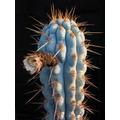 Sementes Cactos Azureocereus Hertlingianus Cactus Flor