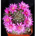 10 Sementes Cactos Mammillaria Mix Cactus Flor Mudas