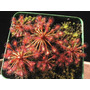 Plantas Carnívoras - Drosera Intermedia - Sementes