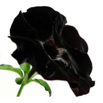 30 Sementes Petúnia Veludo Negro Inglesa R$75 Rosa Flor Muda