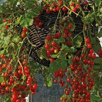 Tomate Cereja Vermelho Samambaia Sementes Para Mudas