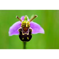 Orquídeas 5 Sementes - Abelha Bee + Frete Grátis