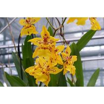 Frete Grátis - 5 Sementes De Orquídea Amarelo Ouro