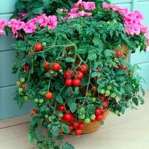 Tomate Cereja Samambaia Sementes Flor Para Mudas Rosas Grama