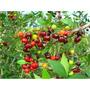 Pacote Com 100 Sementes De Pitanga Para Plantio
