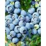 Blueberry Dryland - Mirtilo De Clima Seco Sementes P/ Mudas