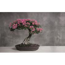 3 Sementes De Sakura - Frete Grátis/bonsai/orquídea/muda