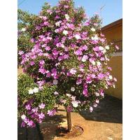 Sementes De Manacá Da Serra Árvore Flor Para Mudas