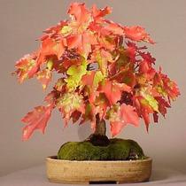 10 Sementes Bonsai Acer Grosseri Var Hersii Árvore P/ Mudas