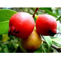 30 Sementes De Araça Vermelho Rosa Psidium Cattleyanum Fruta