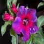 Adenium Obesum 25 Sementes(25 Cores) - Rosa Do Deserto