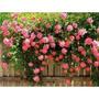 60 Sementes Rosa Trepadeira 10 Cores (5 Semente De Cada Cor)