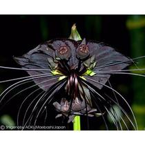 Sementes Orquidea Negra Tacca Chantrieri Flor Morcego Mudas