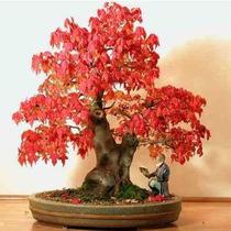 10 Sementes Bonsai Acer Tataricum Árvore P/ Mudas