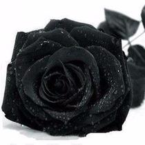 100 Sementes De Rosa Negra Rara Exótica Frete Grátis