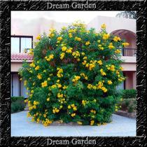 Ipê Mirim Anão De Jardim Sementes Flor Para Mudas