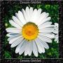 Margarida Gigante Branca Sementes Flor Pra Mudas
