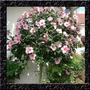Hibisco Hibiscus Syriacus Rosa Sementes Flor Para Mudas
