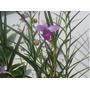 Muda Da Linda Orquídea De Bambu Lilás