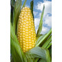 5 Sementes De Milho Doce Zea Mays L.- Frete Grátis