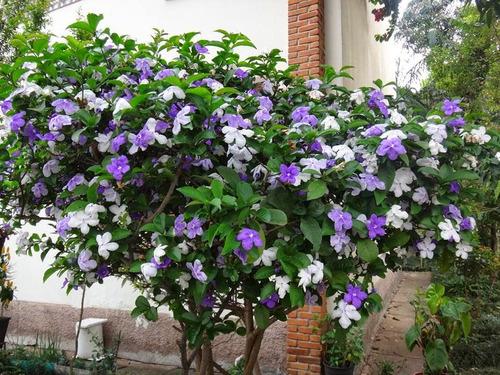manaca de jardim em vaso : manaca de jardim em vaso:Só Mudas= Mudas Manacá De Cheiro – R$ 39,90 no MercadoLivre