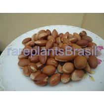 Muda Fruta Argan Argania Arvore Frutifera Ouro Marroquino