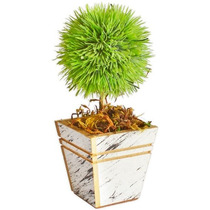 Arranjo Floral - Ouriço Verde Em Vaso De Madeira Branco