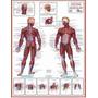 Mapa Sistema Muscular Gigante!!! 120 X 90cm