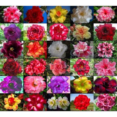 Kit 50 Sementes Rosa Do Deserto Adenium Obesum(frete Grátis) em Cuiabá