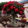 50 Sementes De Rosa Do Deserto Somalnse