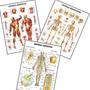 Kit 3 Mapa 60x80cm Anatomia Esqueleto Músculos Linfático