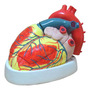 Coracao Ampliado Em 3 Partes Anatomia Humana Ana Bely