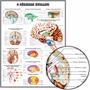 Mapa Anatomia Do Cérebro 65x100cm Poster Hd Medicina Clínica