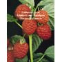Compendium Of Raspberry And Blackberry Diseases And Insects