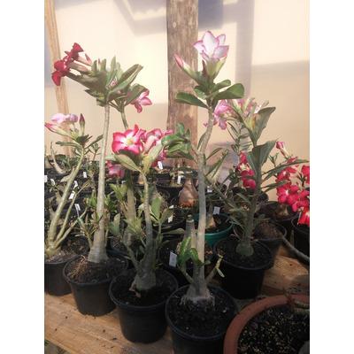 5 Rosa Deserto, 30a40cm  Branca,rosa E Vermelha,frete Grátis em Rolândia