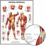 Poster Músculos 65cmx100cm Decorar Sala Consultório Clinica