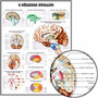 Poster Cérebro Humano 65x100cm Pra Decorar Sala Consultório